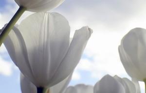 Weisse Tulpen vor Himmel